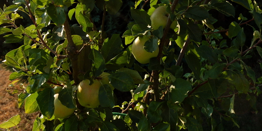 august-apfelbaum